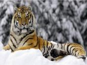Tiger in Winter Backgrounds