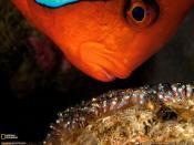 Tomato Clownfish Backgrounds