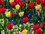 Tulips Backgrounds