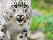White Tiger Africa Backgrounds