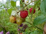 Wild Raspberri Backgrounds